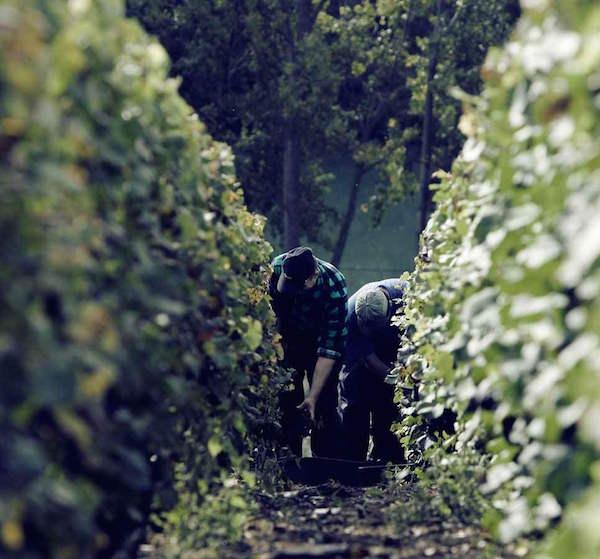 Champagne-Joseph-Perrier-Vignes