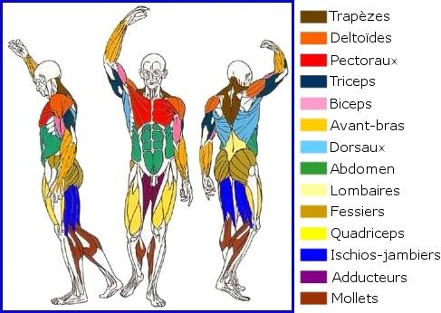 comment-faire-de-la-musculation-a-la-masion-chez-soi-groupe-musculaire