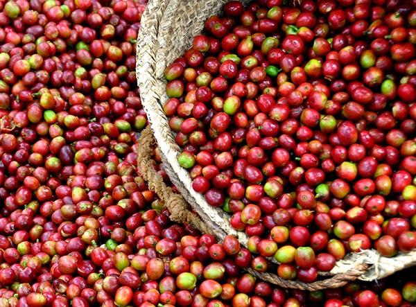 cafeine maigrir phenq perdre du poids