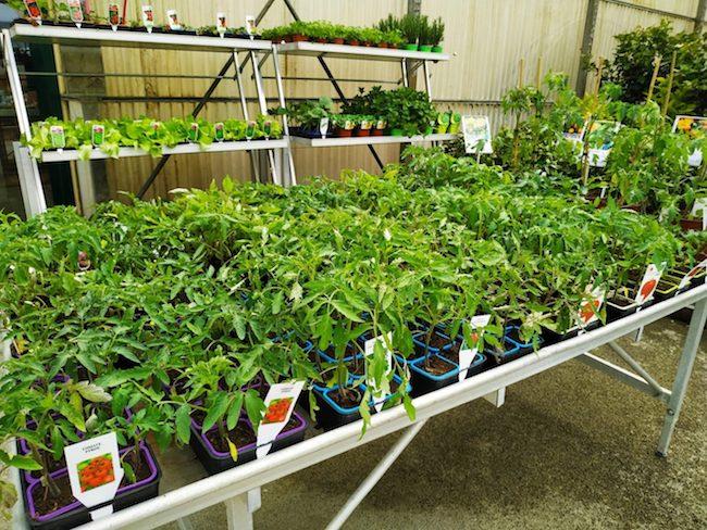 faire-son-premier-potager-plants-godets