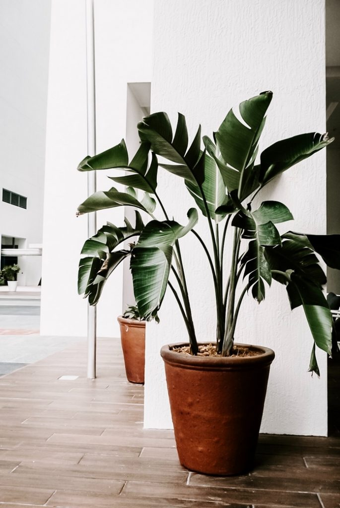 plante verte naturelle moyenne haute interieur pot